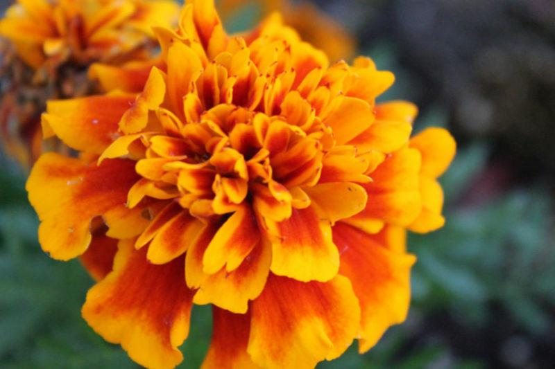 The meaning of marigolds in day of the dead