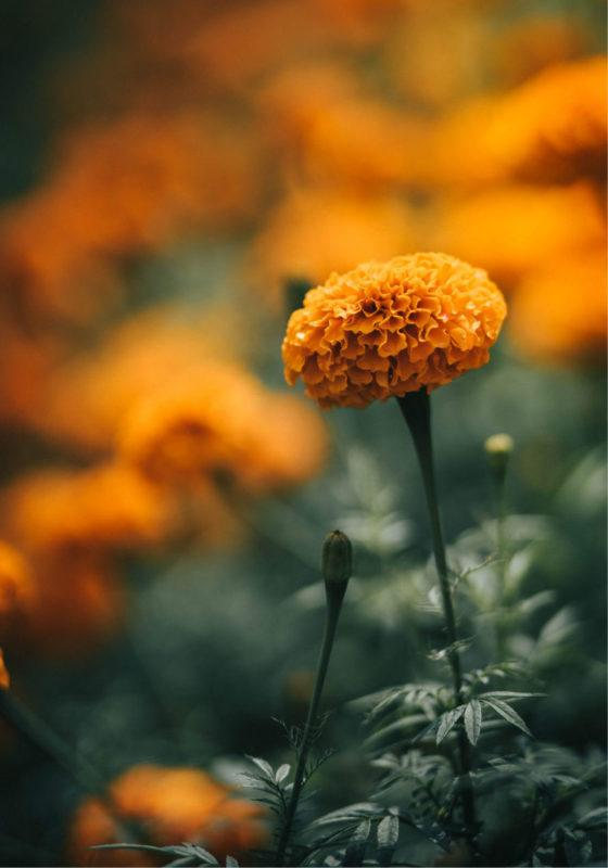 The meaning of marigolds in day of the dead #craftychica #dayofthedead